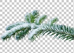 圣诞树分支冷杉图片