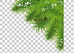 冷杉木PNG图片