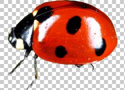 红色斑点七星瓢虫png素材