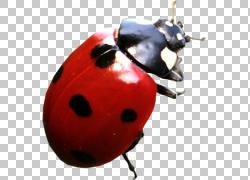 七星瓢虫昆虫png素材