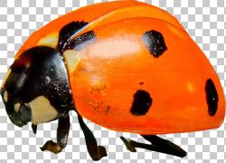 橙色七星瓢虫png素材