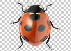 斑点甲壳瓢虫png素材