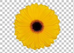 花共同的雏菊党黄色颜色,非洲菊PNG clipart白色,橙色,向日葵,颜图片