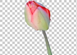 郁金香花显示决议,郁金香PNG剪贴画摄影,植物茎,花,桌面壁纸,花卉