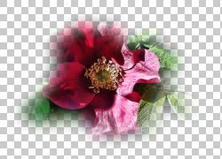 切花瓣,花PNG剪贴画花,2017年,玫瑰家庭,报价,植物,粉红色,花瓣,