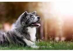 草地上的灰色狗高清摄影图片