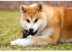 草地上的黄色狗高清摄影图片